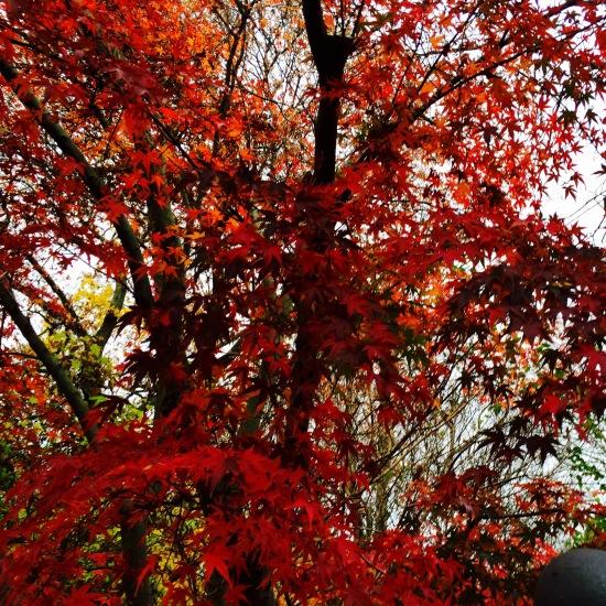 Baum mit roten Blättern / Nieselregen / Herbst in Berlin