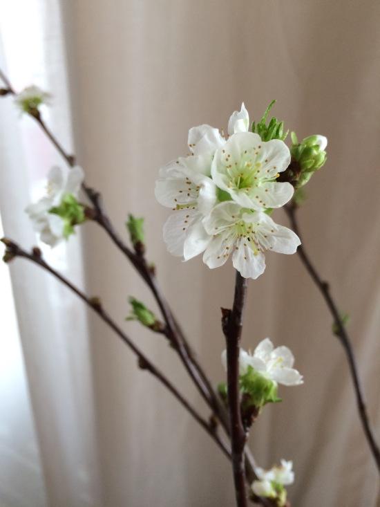 Kirschblüte (c) Kathrin Eß 2016 / kathriness.com